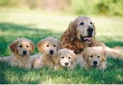 Melissa &amp; Doug Golden Retriever with Puppies Puzzle