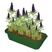 Butterfly Bush Windowsill Garden Kit